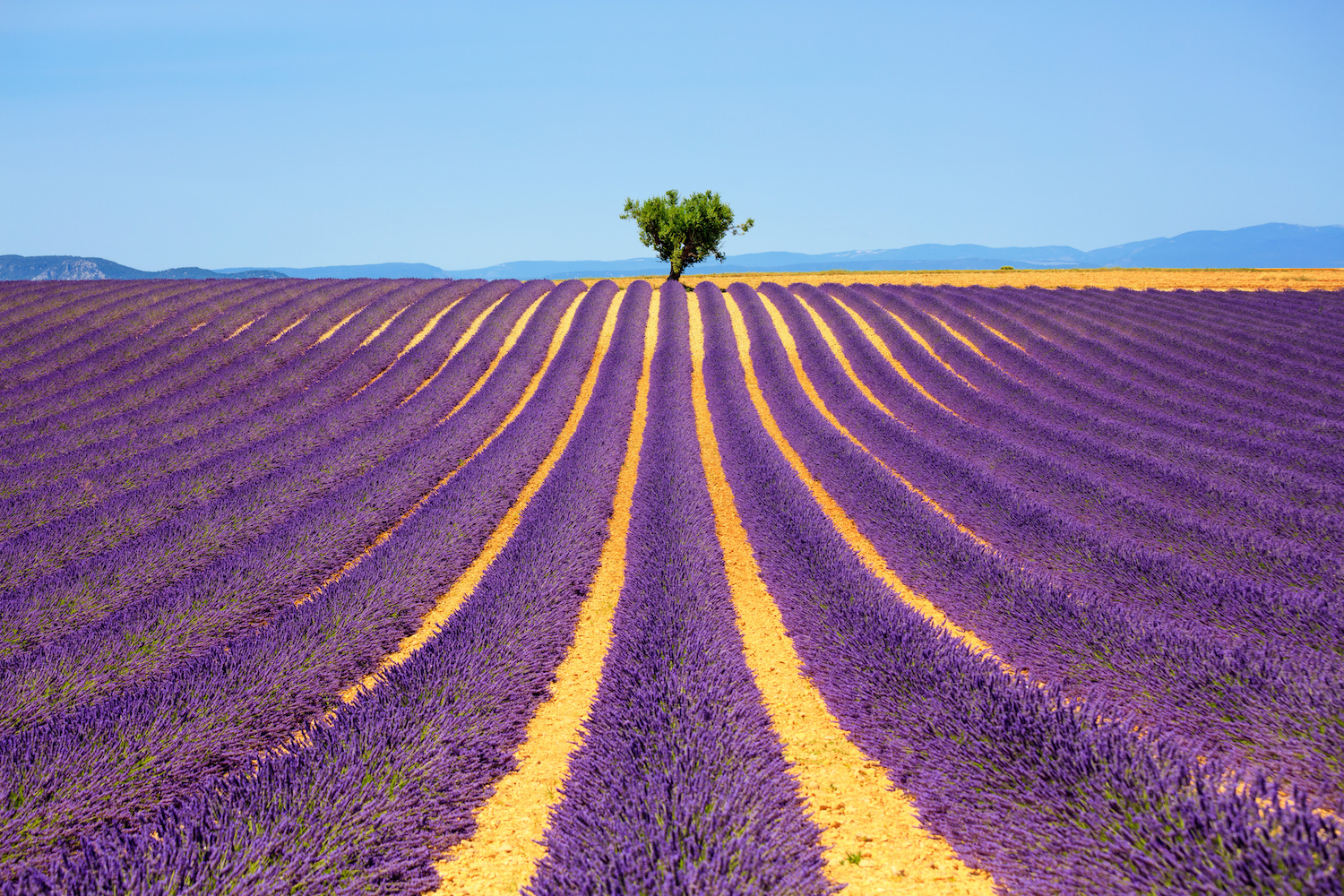 lavender fields in Provence - South of France