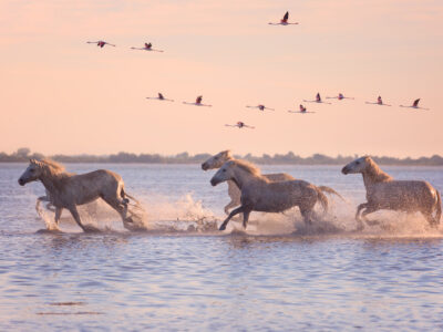 Wild horses and flamencos in the Camargue, south of France