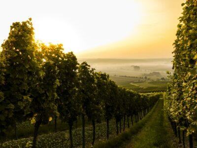 view of vineyards in the Bordeaux wine region